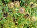 01760 - Hibiscus cannabinus (Eibisch).JPG