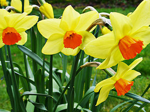 Welsh Daffodils, courtesy of wikipedia