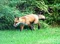 041 Red Fox (8057817021).jpg