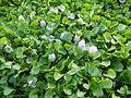 06339jfBarangay Eichhornia Flowers Pansinao Candaba Mount Arayat Pampanga Riverfvf 21.JPG