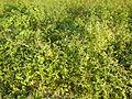 0688jfPaddy fields grasslands Gabihan San Ildefonso Bulacan Roadfvf 08.jpg