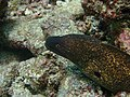 0920 moray eel look at you Dive2 (37234301372).jpg