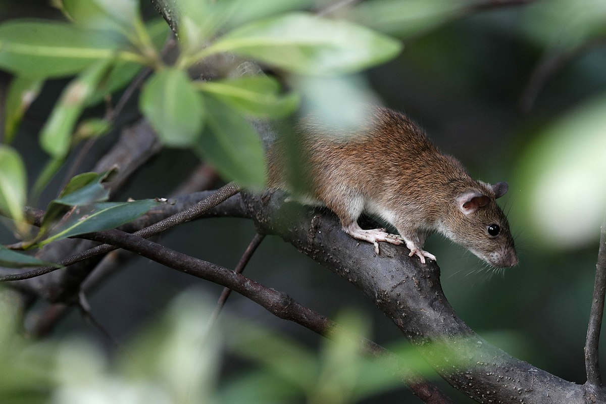 Indomalayan Pencil Tailed Tree Mouse Wikipedia