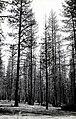1924. Ponderosa pine defoliated by pandora moth. Calimus Butte area, Oregon. (38166261076).jpg