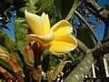 2002Plumeria acuminata 16.jpg