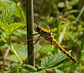 2013.07.01-22-Wustrow-Neu Drosedow-Großer Blaupfeil-Weibchen.jpg