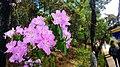 20130531普达措国家公园碧塔海岸边山杜鹃 - panoramio.jpg