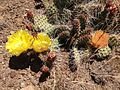 2014-06-28 12 42 39 Prickly pear cactus with yellow and orange flowers on Twin Peaks in the Adobe Range near Elko, Nevada.JPG