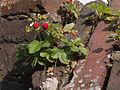 2014-06 Erdbeeren-auf-Dach.jpg