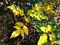 2014-10-29 13 12 34 Green Ash foliage during autumn leaf coloration and other small tree foliage in Ewing, New Jersey.JPG