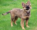 20140531 German Shepard dog puppy 3151.jpg