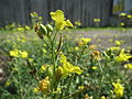 20140812Diplotaxis tenuifolia2.jpg