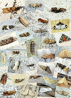 2014 - Moth Review by Ben Sale - Flickr - Bennyboymothman.jpg