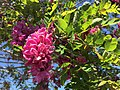 2015-04-29 14 47 26 Purple locust blossoms at the intersection of U.S. Route 50 and U.S. Route 95 in Fallon, Nevada.jpg