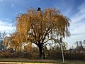 2015-12-08 12 26 07 Weeping Willow with autumn foliage along Woodland Park Road in McNair, Fairfax County, Virginia.jpg