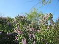 20150423Syringa vulgaris1.jpg