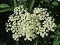 20150521Sambucus nigra2.jpg