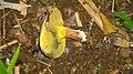 2016-06-07 Baorangia pseudocalopus (Hongo) G. Wu & Zhu L. Yang 624057.jpg
