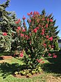 2016-08-07 10 11 08 Crape Myrtle in full bloom along Tranquility Court in the Franklin Farm section of Oak Hill, Fairfax County, Virginia.jpg