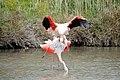 20170425 150 Camargue Flamingo (34304428962).jpg