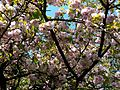 2017 Parcul Carol copac inflorit (4).jpg