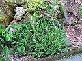 2018-05-22 (103) Polygonaceae (Knotweed) at garden at Bichlhäusl in Frankenfels, Austria.jpg