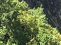 2018-06-23 10.58.07 - The flowering of the laburnum.jpg
