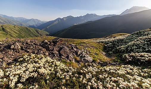 Blossoming of white rhododendron on the Khidotani ridge with mountain Tebulosmta on the background, Pshav-Khevsureti National Park, Mtskheta-Mtianeti region, Georgia.