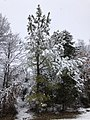 2021-02-07 09 22 49 A young Loblolly Pine coated in wet snow along a walking path in the Franklin Farm section of Oak Hill, Fairfax County, Virginia.jpg