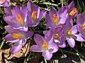 2021-03-03 10 45 22 A cluster of Crocus tommasinianus flowers along Terrace Boulevard in the Parkway Village section of Ewing Township, Mercer County, New Jersey.jpg