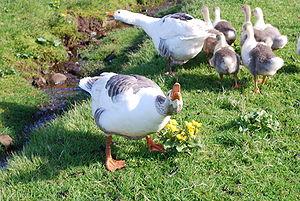 Faroe Islands domestic animals -  Faroese Goose