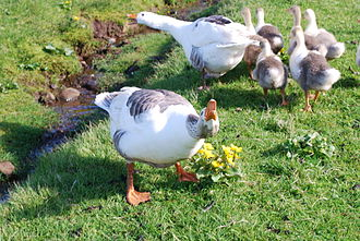 Faroese goose - A Faroese goose family