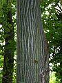 2401-Acer grosseri hersii-Arboretum Brno-8.12.JPG
