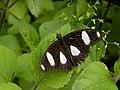 317雌紅紫蛺蝶1(葉錫根攝) (12944657114).jpg