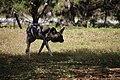 AFRICAN WILD DOG (14007076455).jpg