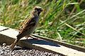 A NZ Sparrow (5645601032).jpg