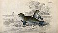 A common seal is sitting on a rock in the sea while another Wellcome V0020770.jpg