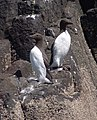 A pair of Guillemots - geograph.org.uk - 772390.jpg