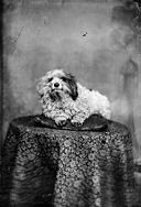 A pet dog (Roberts) NLW3363251.jpg