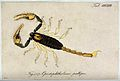 A scorpion; Opistophthalmus pallipes. Coloured engraving. Wellcome V0022420.jpg