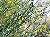 Acacia aphylla 02