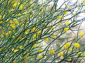 Acacia aphylla 02.jpg