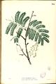 Acacia concinna Blanco2.374-original.png
