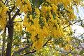 Acacia dealbata 2014.jpg