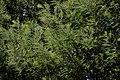 Acacia dealbata Massif de l'Estérel 2.jpg