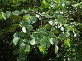 Acacia nigrescens 1.jpg