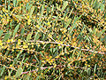 Acacia redolens 3.jpg