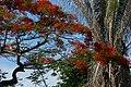 Acacia roja - Flamboyant (Delonix regia) (14506054476).jpg