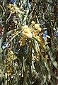 Acacia stenophylla kz4.jpg
