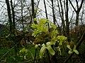 Acer-platanoides-blomst.JPG